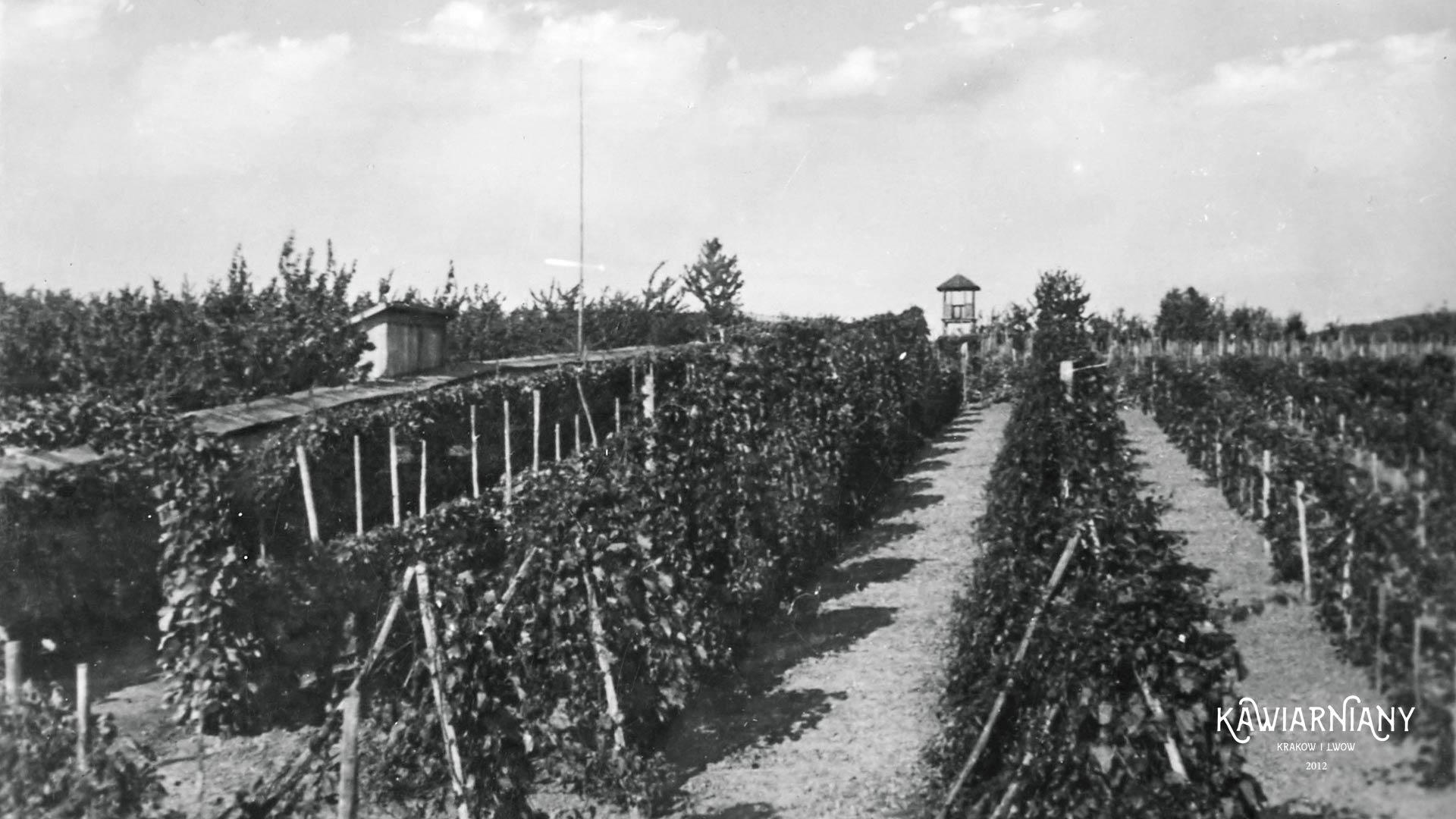 Zaleszczyki, winnica, 1935 rok. Fot. Domena Publiczna