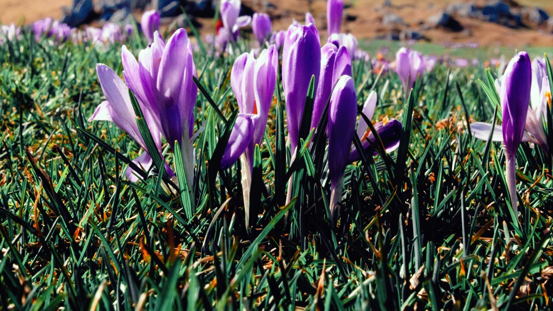 Kiedy kwitną krokusy w Dolinie Chochołowskiej 2021. Krokusy w Tatrach
